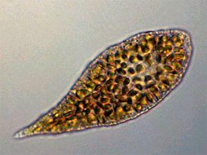 Flagellates Live Protozoa Specimens - Niles Biological, Inc.
