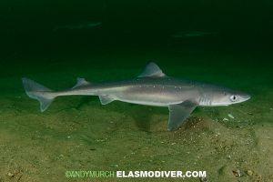 Chondrichthyes (Sharks) Preserved Vertebrates - Niles ...