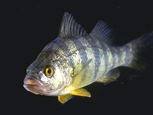 Perch Plain
