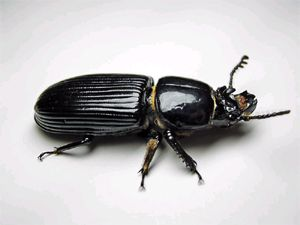 Bess Beetles