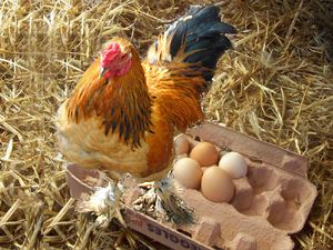 Chicken Eggs Fertile